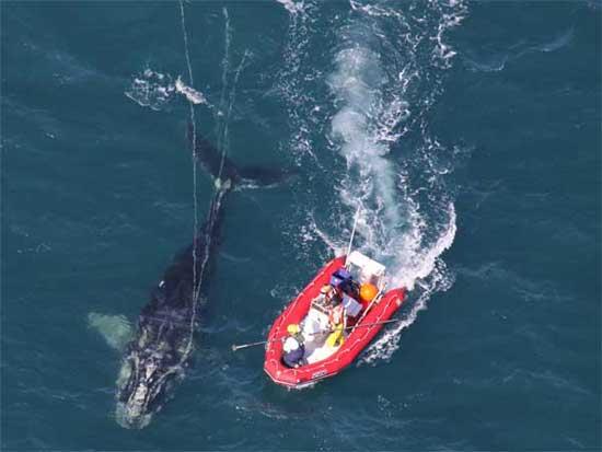 sedación ballena enredada
