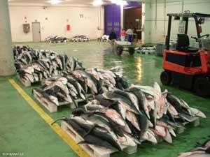 tiburón azul en la lonja de Vigo