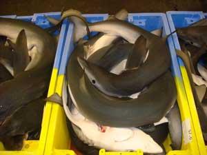 tiburón azul en una pescadería de Bretaña, Francia