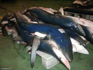tiburón azul o tintorera (Prioana glauca) en la lonja de Vigo