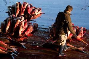 tiburones apilados en la lonja de Kesennuma, Japón