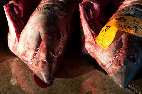 tiburones para la subasta y despiece en kesennuma