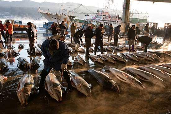 tiburones en la lonja de Kesennuma, Japón
