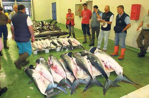 tiburones en la lonja de Vigo