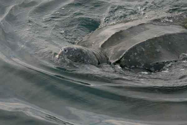 tortuga laud en alta mar
