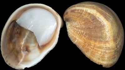 Crepidula fornicata concha en forma de zapatilla