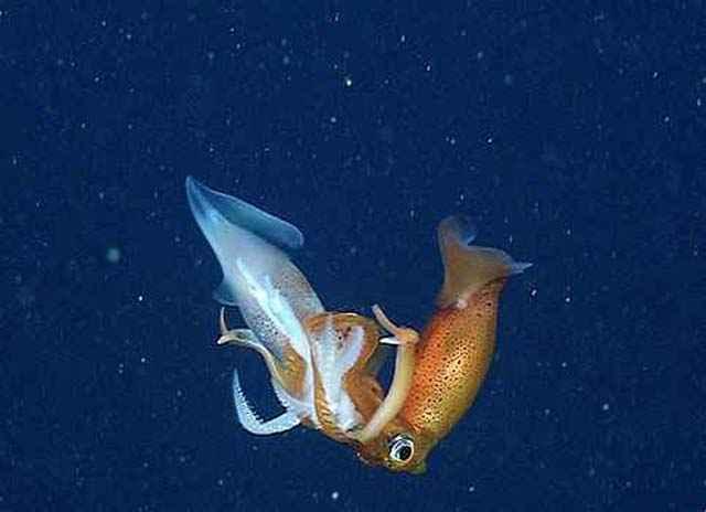 canibalismo en calamares Gonatus berryi