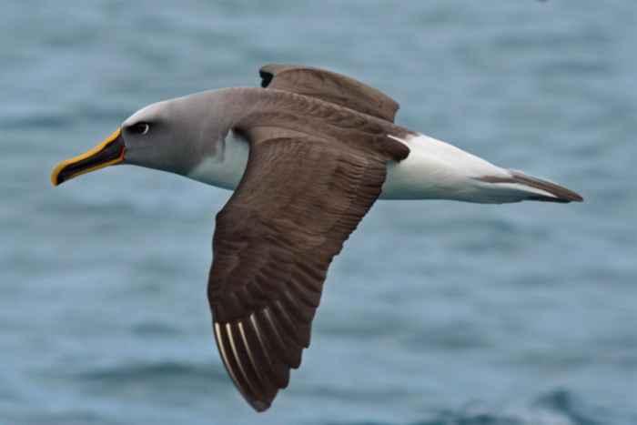 albatros del Buller, Thalassarche bulleri