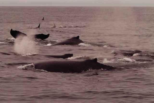 ataque de orcas a un cría de ballena jorobada