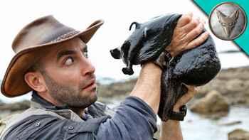 babosa de mar gigante negra Brave Wilderness