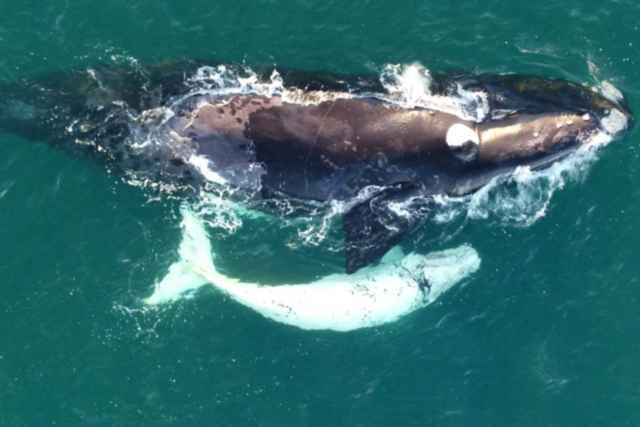 cría blanca de una ballena franca austral