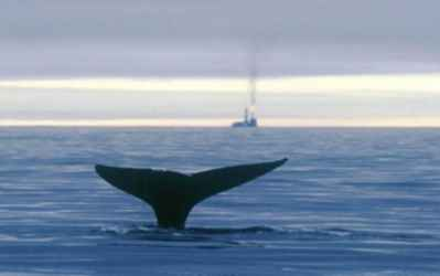 ballena gris de Sakhalin Island