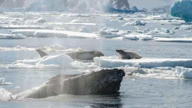 ballena jorobada ayuda a una foca a alcanzar el hielo
