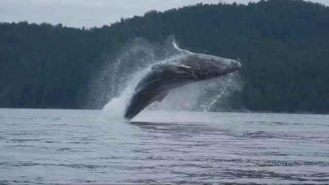 salto de una ballena jorobada frente a kayakistas