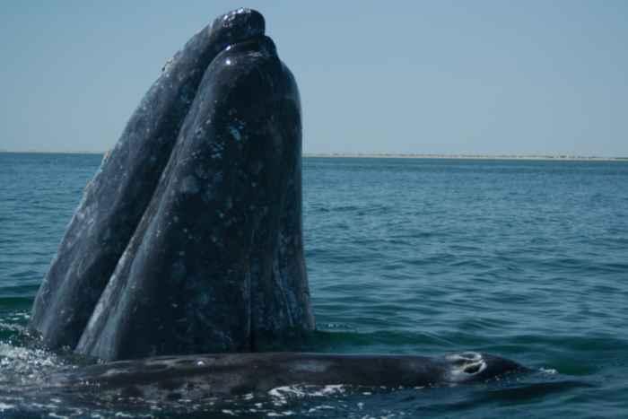 ballenas grises occidentales en Sakhalin Island