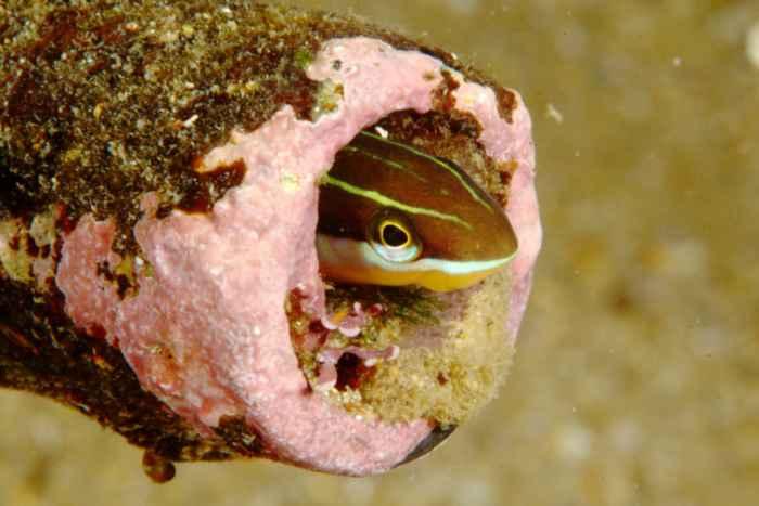 blenio de tubo (Acanthemblemaria spinosa)