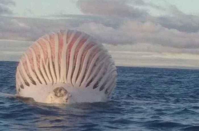cadáver hinchado de ballena jorobada