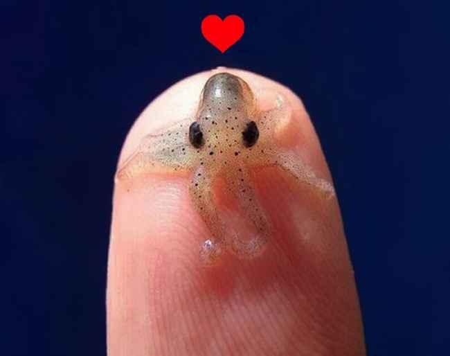 calamar pigmeo japones (Idiosepius paradoxus)