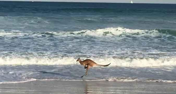 canguro chapoteando por una playa