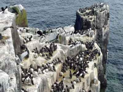 colonia de aves marinas en las Islas Feroe