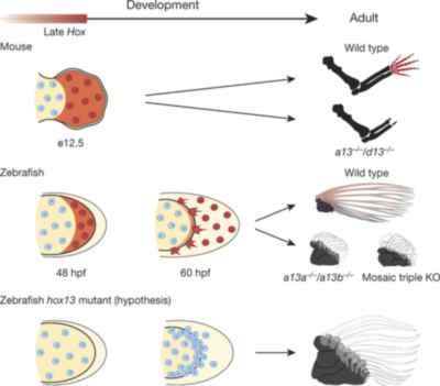 movimiento de las células en dedos y radios de aleta