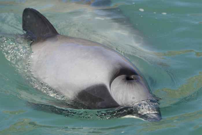 delfín con respiración normal por el espiráculo
