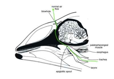 fisiología de la respiración de un delfín