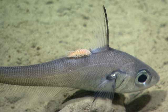 ectoparasito sobre el lomo de un pez