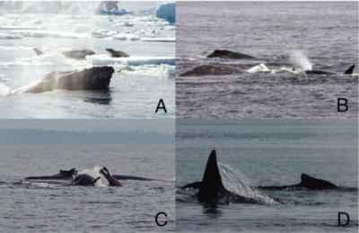 encuentros de ballenas jobadas y orcas