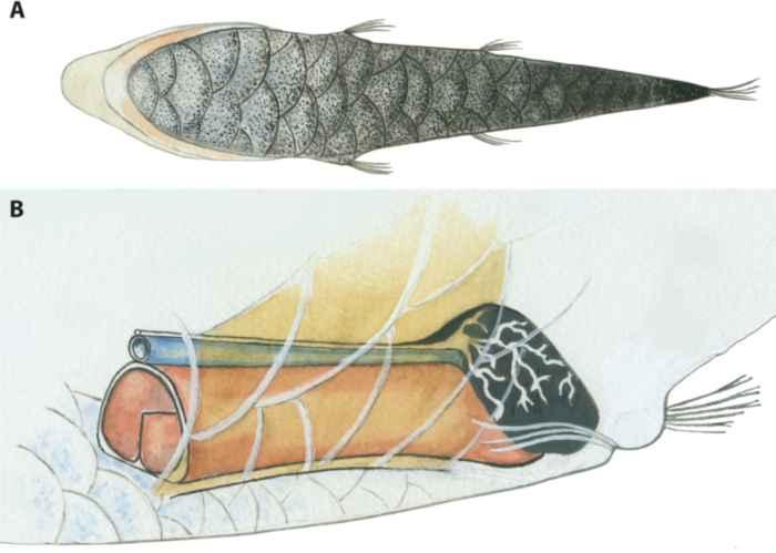 escamas bioluminiscentes en el vientre y órgano en peces Opisthoproctidae