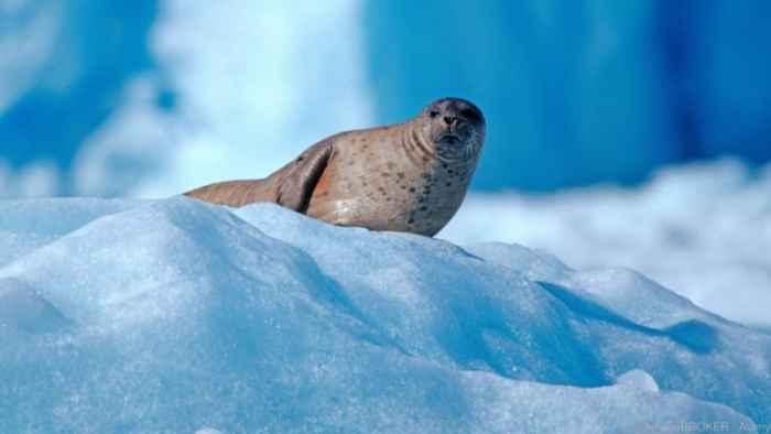 una foca en el Ártico