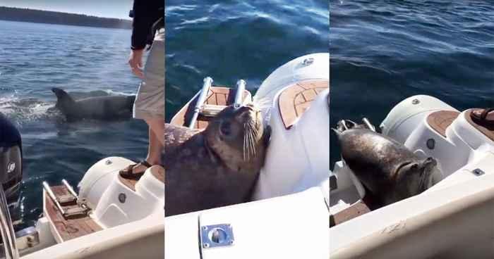 foca escapa escapa de orcas  saltando a un barco