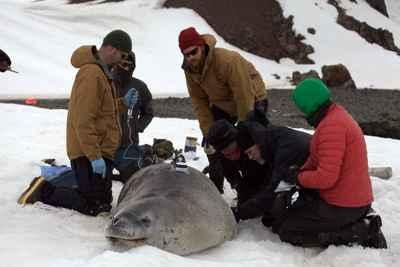 colocación de una Crittercam a foca leopardo