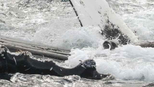 foca subida en el vientre de una ballena jorobada