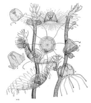hidroides y juveniles de la medusa Turritopsis dohrnii