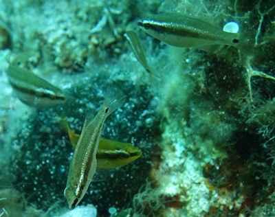 machos indeseados del pez ocelado