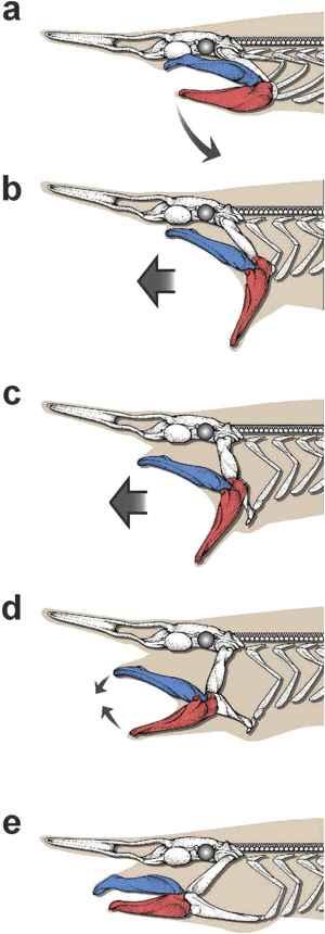 mandíbulas catapulta del tiburón duende