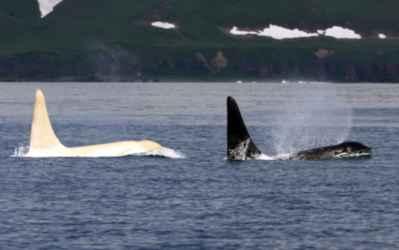 orca blanca en la costa de Rusia