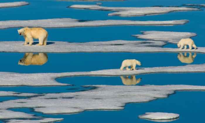 osos polares en el deshielo