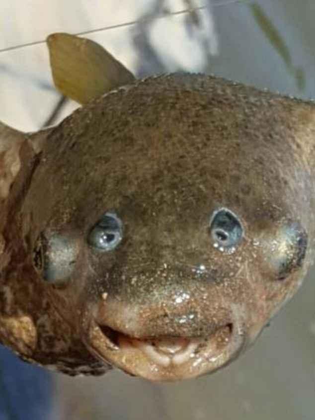 pez de cuatro ojos capturado en Australia