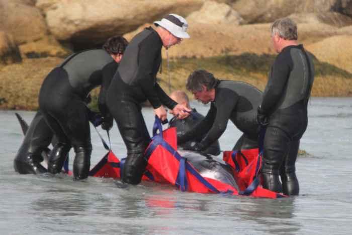 rescate de una ballena carada en Tasmania