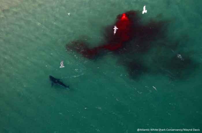 secuelas de la matanza de foca por un tiburón