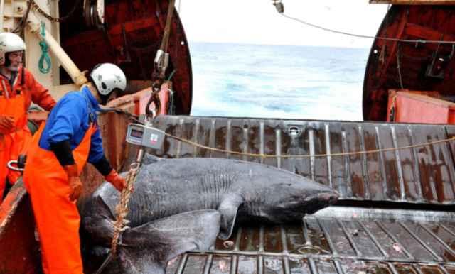 examen de un tiburón de Groenlandia