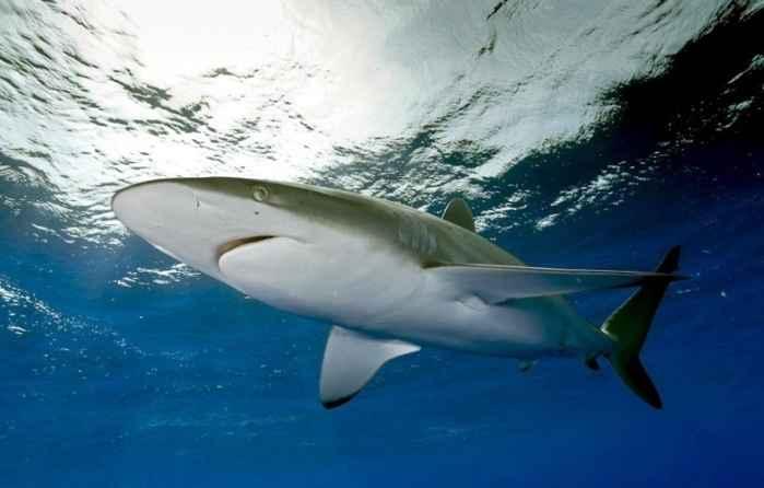 tiburón sedoso (Carcharhinus falciformis)