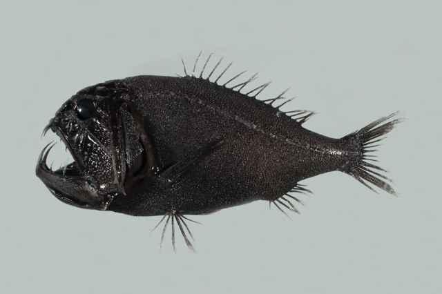 pez de colmillos largos (Anoplogaster cornuta)