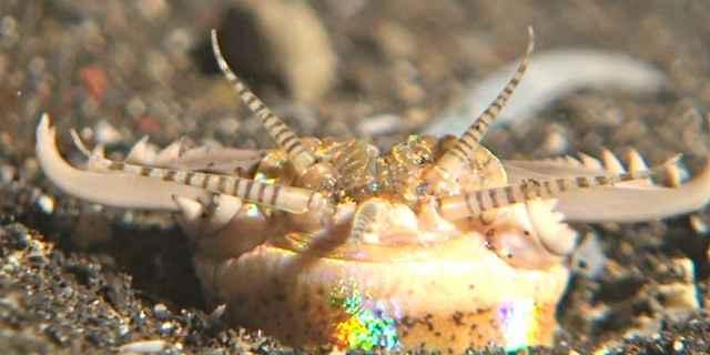 Eunice Aphroditois, gusano bobbit