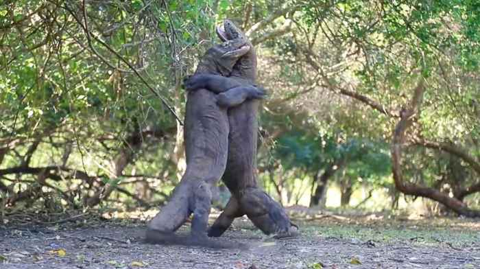 batalla entre dragones de Komodo