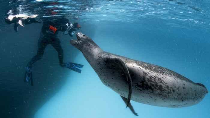 buzo con una foca leopardo gigante