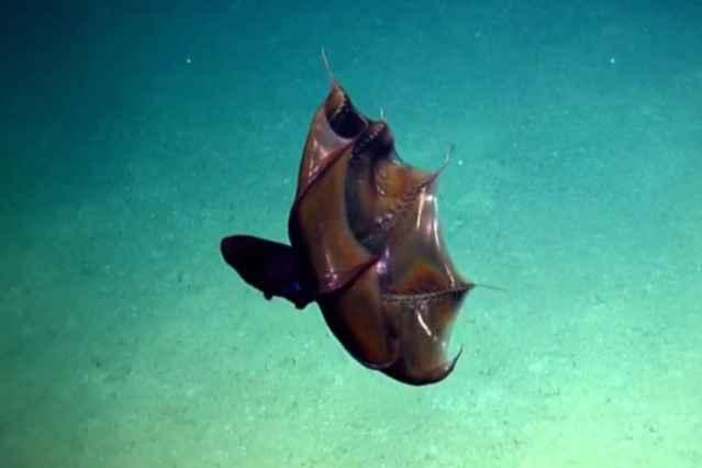 calamar Drácula