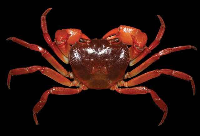 nueva especie de cangrejo (Yuebeipotamon calciatile)